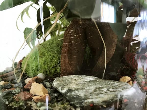 Les racines du Ficus @Petit monde