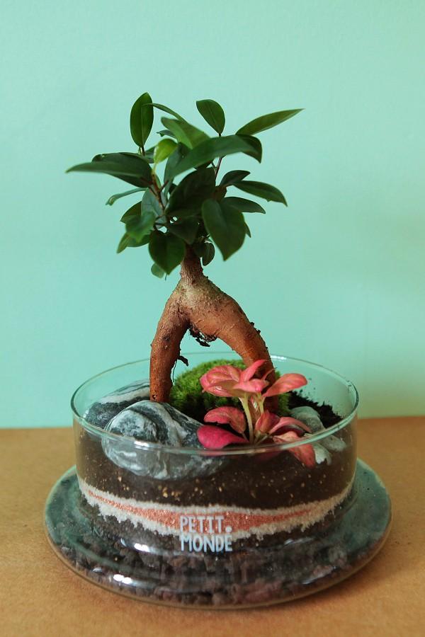 Ficus et Fittonia ©Petit monde