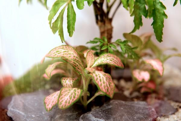 Ce Polyscias fait de l'ombre à un joli Fittonia rose ©Petit monde